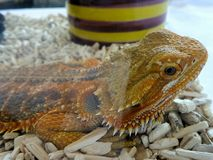 Orange Chameleon Stock Images
