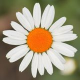 Orange chamomile Royalty Free Stock Photos
