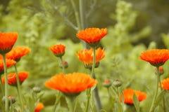 Orange Chamomile or Marigold Flowers. On Grass Background Stock Image
