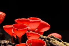Orange or Champagne mushroom Royalty Free Stock Image