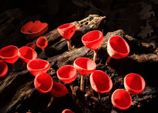 Orange or Champagne mushroom Stock Photo