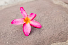Orange Champaka& x27; Blume Stockfoto