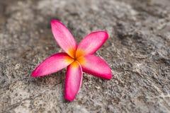 Orange Champaka& x27; Blume Stockfotos