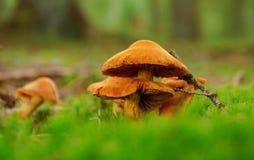 Orange champinjon i skogen Arkivbild