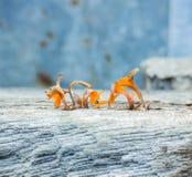 Orange champinjon på förfallträ Arkivbild