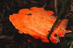 Orange champinjon på träd royaltyfria bilder