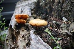 Orange champinjonsvamp på trä arkivbild