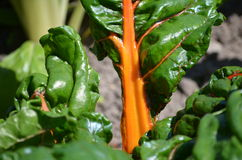 Orange Chard (Betula vulgaris cicla) Stock Photo