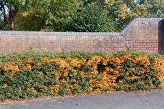 Orange Charmer Firethorn royalty free stock images