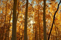 Orange chaud des arbres de tremble Photo stock