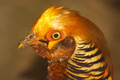 Orange Chick Royalty Free Stock Photo