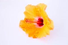 Orange Chinese rose flower isolated. On white background Stock Photos
