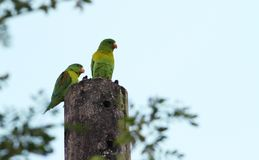 Orange-chinned Parakeet Brotogeris jugularis stock photography