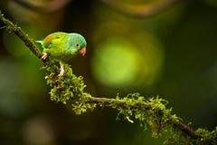 Orange-chinned Parakeet, Brotogeris jugularis, parrot from Costa Royalty Free Stock Images