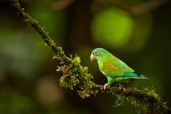 Orange-chinned Parakeet, Brotogeris jugularis, parrot from Costa vector illustration
