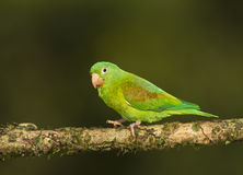 Orange-chinned Parakeet Royalty Free Stock Images