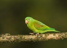 Orange-chinned Parakeet royalty free stock images