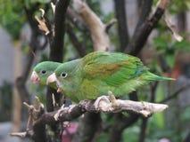 Orange-chinned Parakeet couple. Parrot couple at Lake Atitlan (Lago Atitlan, Guatemala, Central America Stock Images