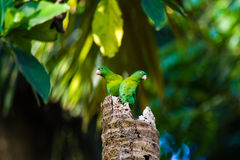 Orange-chinned Parakeet stock image