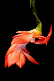 Orange Christmas Cactus Royalty Free Stock Photo
