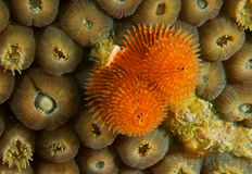 Orange Christmas Tree Worm Royalty Free Stock Images