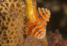 Orange Christmas Tree Worm Royalty Free Stock Photography