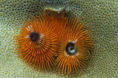 Orange christmas tree worm Stock Photo
