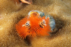 Orange Christmas tree worms Royalty Free Stock Image