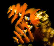 Orange christmas tree worms underwater. Vividly colored Christmas Tree worms with a black background royalty free stock images
