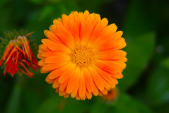 Orange Chrysantheme Stockfotografie