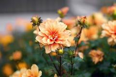 Orange chrysanthemum royaltyfri bild