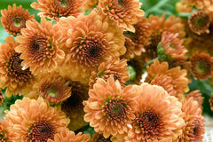 Free Orange Chrysanthemum Stock Images - 11705954
