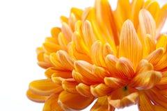 Orange chrysanthemum Stock Images