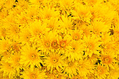 Orange chrysanthemum Royalty Free Stock Images