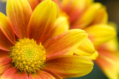 Free Orange Chrysanthemum Royalty Free Stock Photos - 23958138