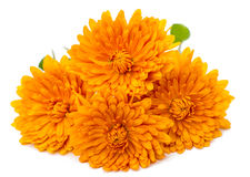 Orange chrysanthemum royaltyfri foto