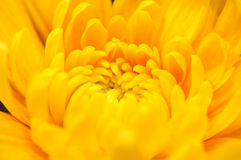 Orange Chrysanthemum 5 Stock Photo