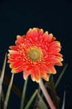 Orange chrysanthemum. On a black background Stock Photo