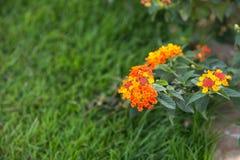 Orange chrysanthemum royaltyfria bilder