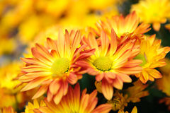Orange chrysanthemum blooming in spring Stock Image