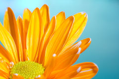 Orange chrysanthemum on a blue background Royalty Free Stock Photo