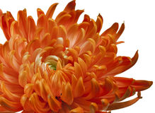 Orange chrysanthemum close up Royalty Free Stock Photography