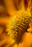 Orange Chrysanthemum flower Stock Photos