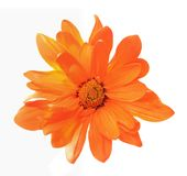 Orange chrysanthemum Royalty Free Stock Image