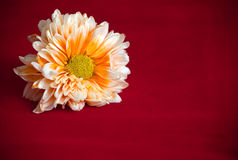 Orange chrysanthemum flower Stock Photo