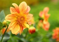 Orange chrysanthemum flower, Yellow flower, Spring Royalty Free Stock Images