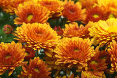 Orange chrysanthemum flowers Royalty Free Stock Images