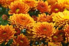 Orange chrysanthemum flowers royalty free stock images