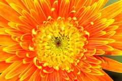 Orange chrysanthemum flowers in garden Stock Photos