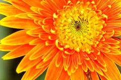 Orange chrysanthemum flowers in garden Stock Image